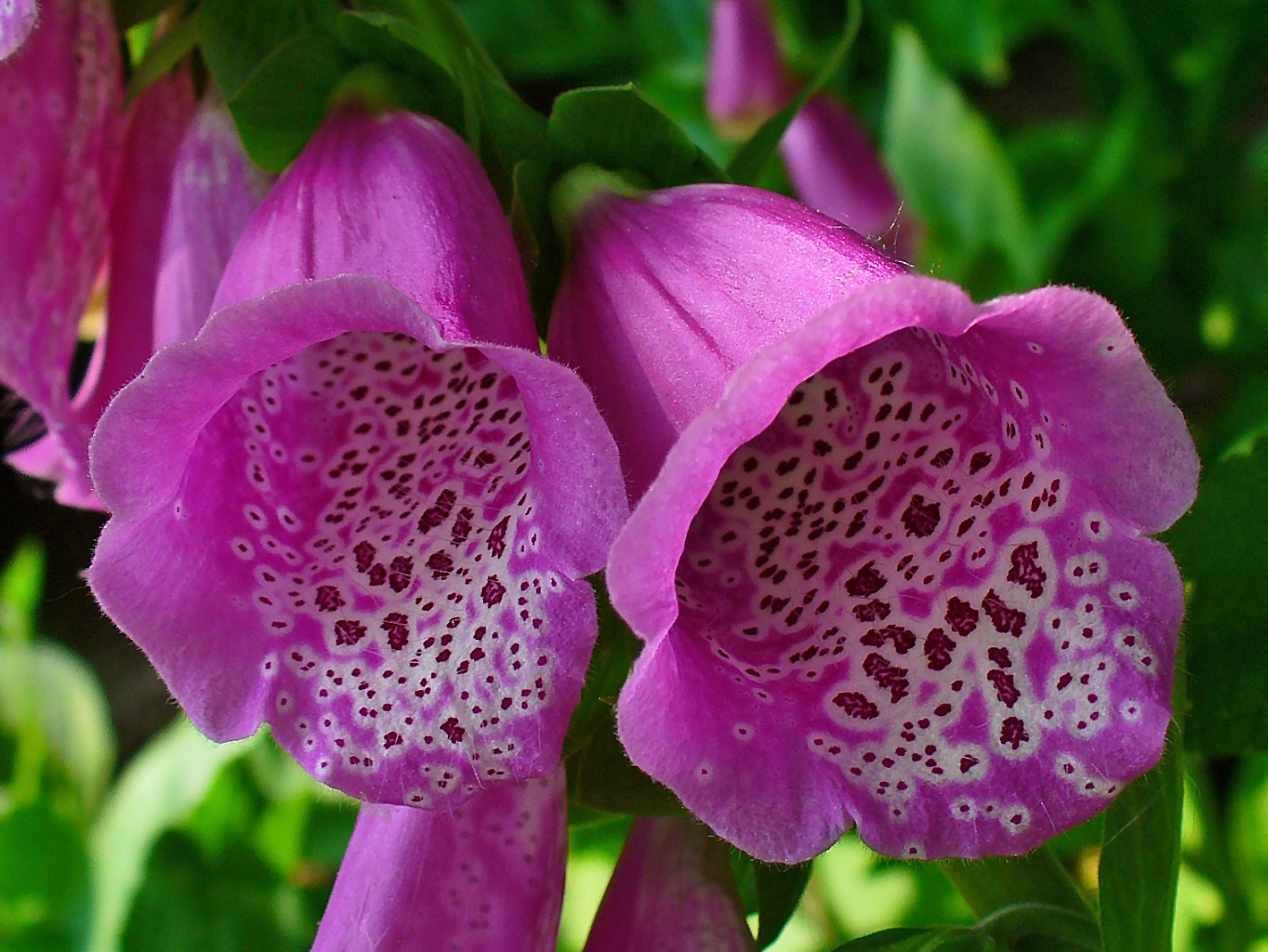Foxglove flower (Digitalis)